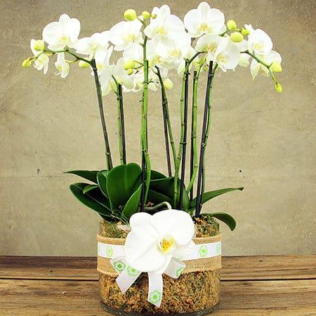Large White Orchid Plant in Glass Vase Delivered in Sydney