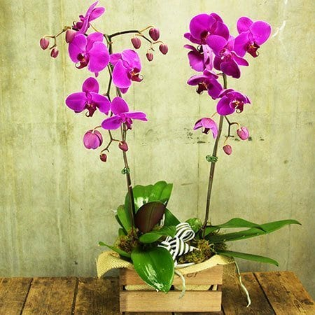 L`Orchidee Pink Orchid Plant Delivered (Sydney Only)