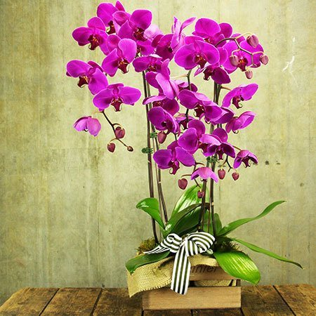 L`Orchidee with Free Size Upgrade and Candle (Sydney Only)