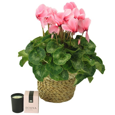 Mothers Day Cyclamen Plant
