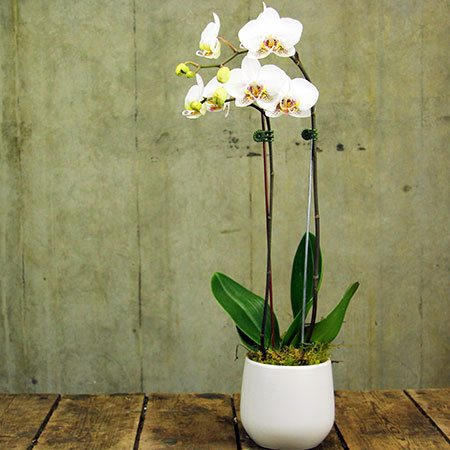 Orchid Snowflake Melbourne