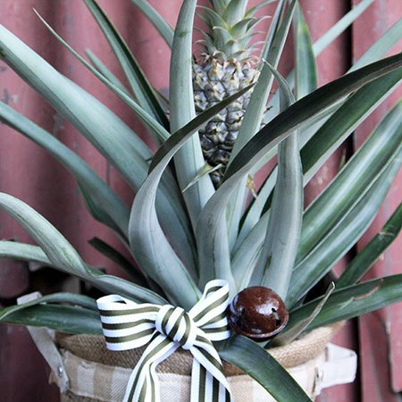 Ornamental Pineapple