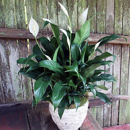 Peace Lily Plant Brisbane