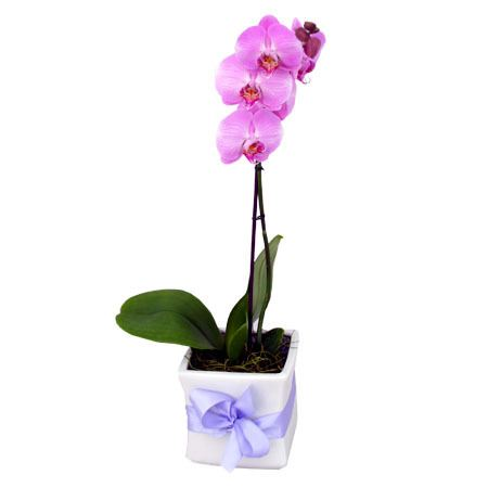 Phalaenopsis Orchid Delivered