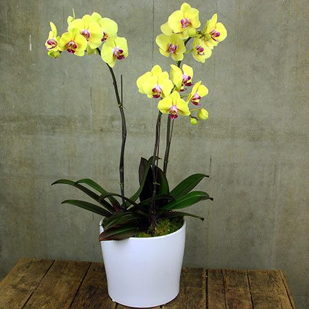 Phalaenopsis Orchid in Ceramic Pot