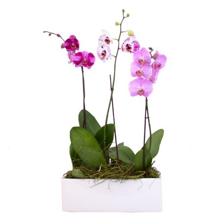 Phalaenopsis Orchids on dracula orchid, mokara orchid, bright purple orchid, oncidium orchid, phalaenopsis bellina, maxillaria orchid, moth orchid, miltonia orchid, giant orchid, yellow orchid, flowers orchid, cattleya orchid, doritis orchid, dendrobium orchid, vanda orchid, vanilla orchid, jewel orchid, most rare orchid, ficus elastica, cymbidium orchid, most exotic orchid, paphiopedilum orchid,