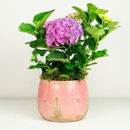 Pink Hydrangea Plant in Pot