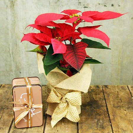 Poinsettia and Gingerbread (Sydney Only)