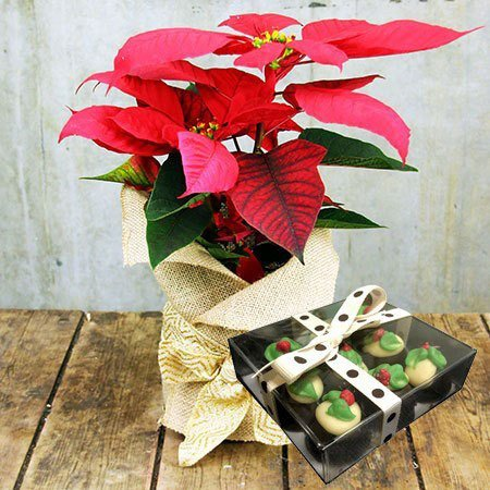Poinsettia and Xmas Chocolates (Sydney Only)