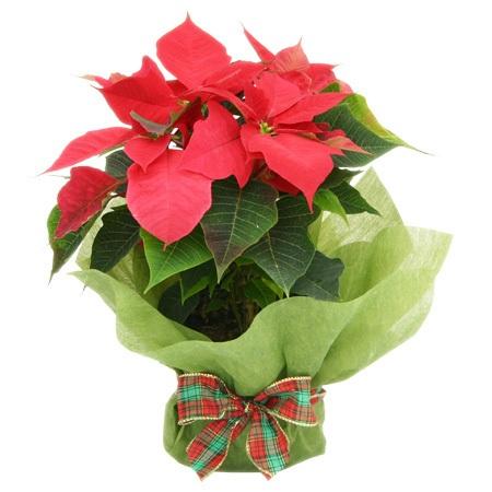 Poinsettia Plant - Christmas Gift