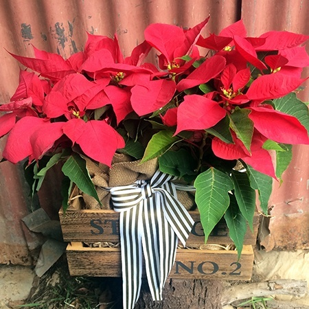Poinsettias and Choc with Free Xmas Candle (Sydney Only)