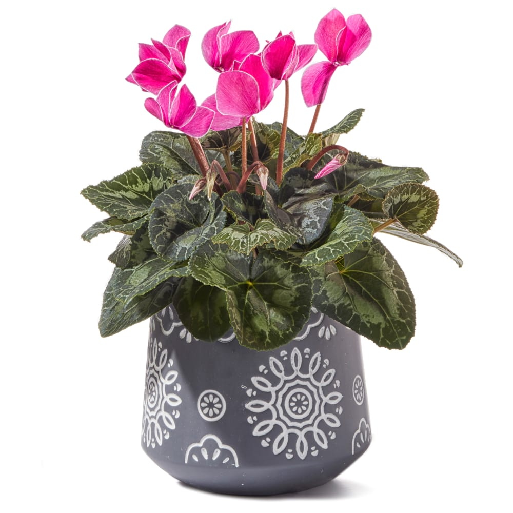 Pretty Pink Cyclamen Plant Delivery Sydney