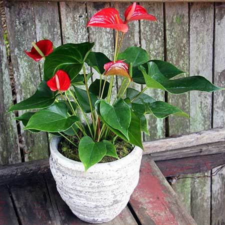 Red Lily Plant