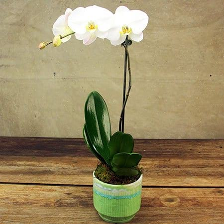 Retro White Orchid Plant in Glazed Ceramic Pot Delivered in Sydney