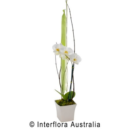 SA69 ANJELICA Flowering Orchid Presentation