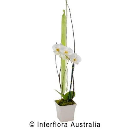 SA69 ANJELICA Flowering Orchid Presentation