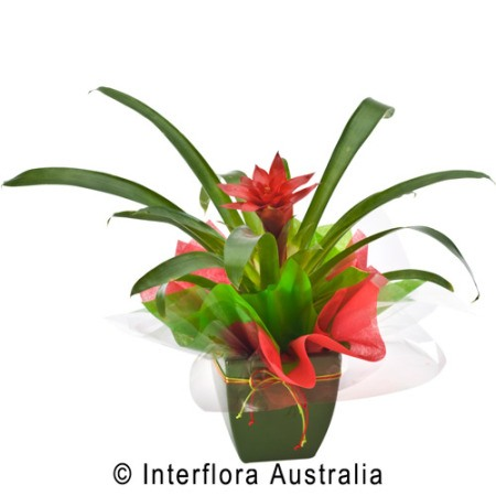 SA76 NINA Seasonal Flowering Plant