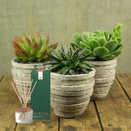 Succulent and Ecoya Reed Diffuser (Sydney Only)
