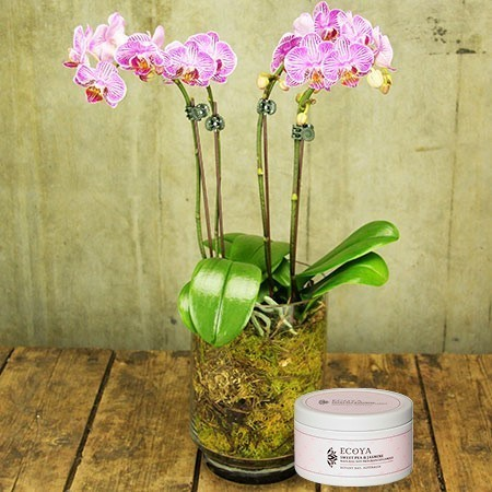 Teacup Orchid Plant with Free Candle (Sydney Only)