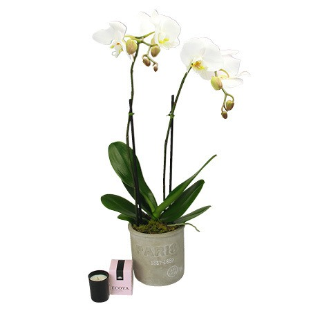 White Orchid for Mum