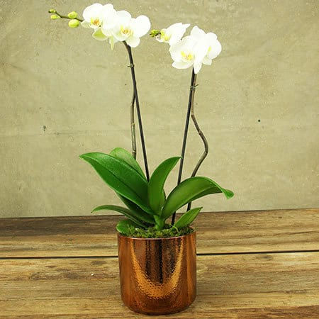Stunning White Phalaenopsis Orchid Plant in Copper Pot Delivered in Sydney
