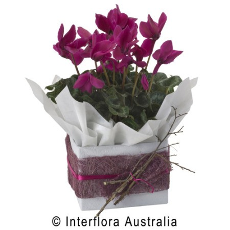 WS129 Katrina Petite Seasonal Flowering Plant