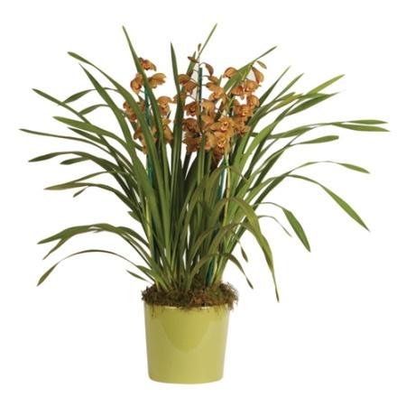 Green Cymbidium Orchid Plant Cymbidium Orchid Plant