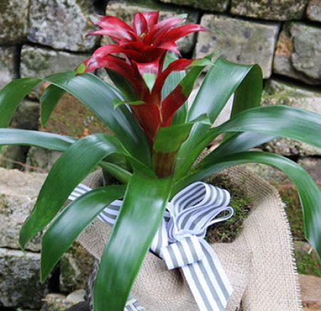 Bromeliad Plant Online