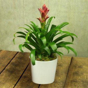 Bromeliad in Ceramic Pot