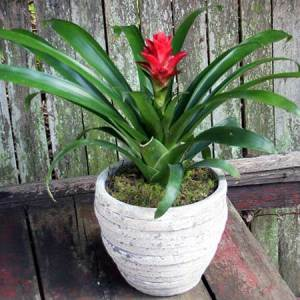 Bromeliad in Stone Pot