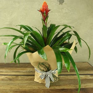 Bromeliad Plant Gift Wrapped