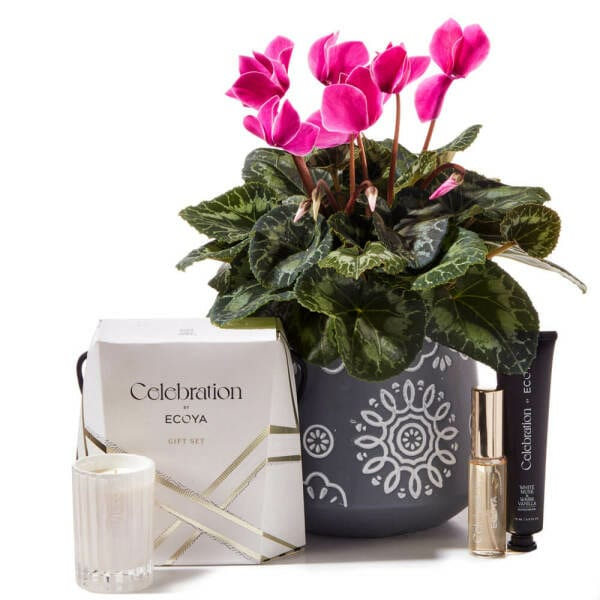 Chic Pink Cyclamen Plant Delivered