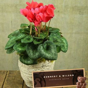 Cyclamen Plant & Teddy Bear Chocolates