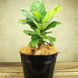 Fiddle-Leaf Fig Plant Delivery Sydney