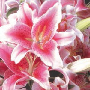 Gift Card Pink Lilies