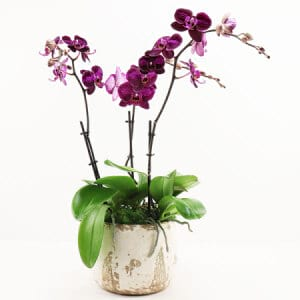 Magenta Orchid Plant
