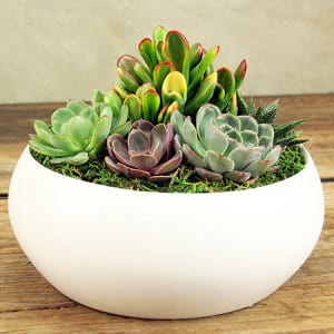 Mixed Succulents in White Ceramic Bowl