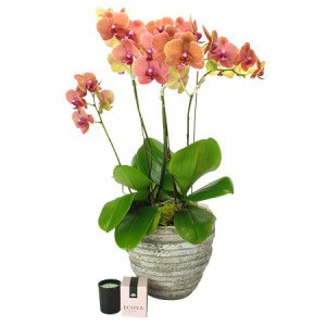 Mothers Day Orchid Plant