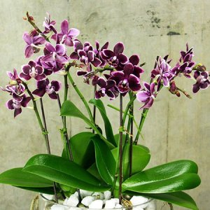 Purple Orchids for Chinese New Year