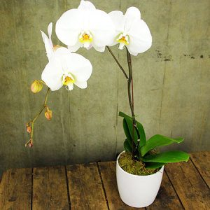 Orchid Plant in Pot (Brisbane Only)