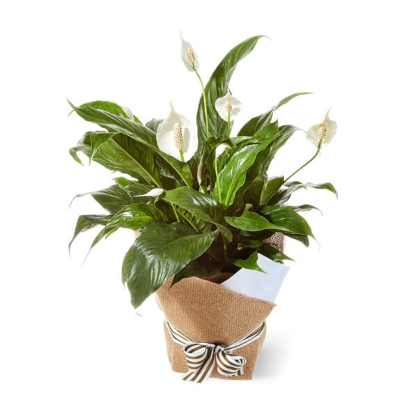 Peace Lily in Hessian Bag