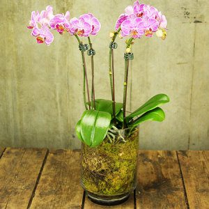 Pink Mini Teacup Orchids (Sydney Only)