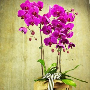 Pink Orchids in Crate with Free Chocolates (Sydney Only)