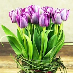 Purple Tulips in Vase