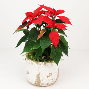 Red Poinsettia in White Pot