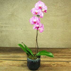 Retro Pink Orchid Plant
