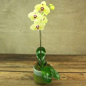 Retro Yellow Orchid Plant Delivered in a Glazed Ceramic Pot in Sydney