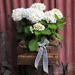 Rustic Hydrangea Box with Free Xmas Candle (Sydney Only)