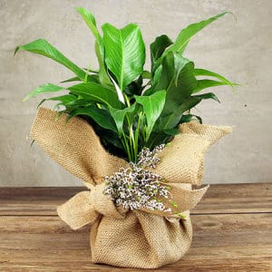 Rustic Peace Lily Plant Delivered in Hessian Wrap