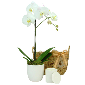 Vanilla White Christmas Phalaenopsis Orchid Plant and Candle Delivered in Sydney